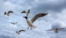 A Flock Of Blue-and-white Gull...