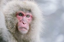 Portrait Of Japanese Macaque Outdoors