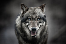 Scary Dark Gray Wolf (Canis L...