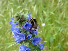 Bee On Echium Vulgare