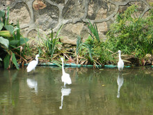 Egrets Roosted And Foraged By ...