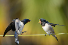 Close-Up Of Birds Fighting While Perching On String