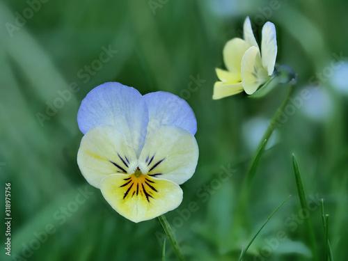 Blüte vom Veilchen in blaugelb vor unscharfem Hintergrund