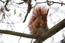 Cute Little Red Squirrel Sitti...