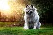 Gray dog Keeshond