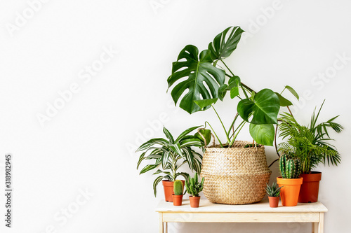 Obraz Potted home plants front view, home gardening concept - fototapety do salonu