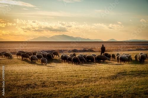 Valokuva sheep and shepherd at sunset