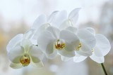 Branch of blooming  white orchid closeup