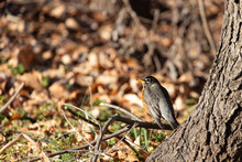 American Robin - Turdus Migratorius With Leaves In The Background