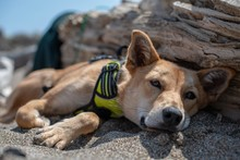 CLOSE-UP OF DOG RELAXING ON ROCK