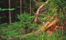 Small Young Green Spruce Pine Tree Plant Needle Stump Forest Woods Moss Background