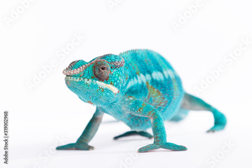 Close up of rare Panther Chameleon Nosy Be on white background.