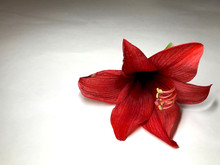 Deep Red Flower Of Amaryllis On White Background With Shades And Copy Space