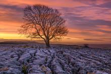 Lone Tree On The Limestone Pavement At Malham, UK