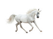 Snow white arabian horse running isolated