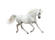 Snow White Arabian Horse Runni...