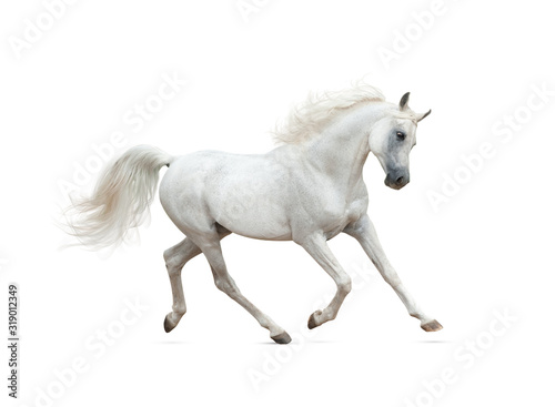 Fototapeta Snow white arabian horse running isolated obraz