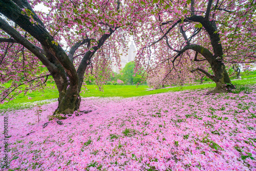 Vászonkép Central Park West buildings can be seen through the Cherry trees behind myriad of fallen Cherry petals on the lawn in Central Park New York City NY USA on May 04 2019