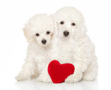 Two Adorable Poodle Puppies Si...