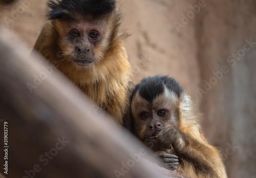 Photo one couple of  monkey sapajus libidinosus