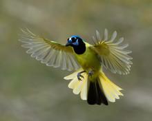 Green Jay (Cyanocorax Yncas), Rio Grande Valley. Texas