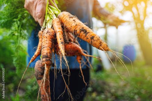 Fototapeta Fresh organic carrots in farmers hands. Harvesting carrots. Healthy food. obraz