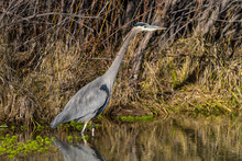Great Blue Heron - A Close-up ...