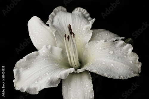 Photo Dasaturated sunday gloves, white daylily on a black background
