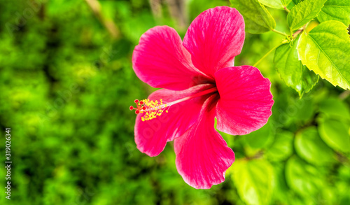 Hibiscus Flower. Shallow DOF.In the tropical garden.