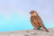 A Female House Sparrow On A Wa...