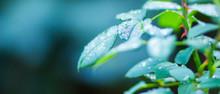 Rose Leaves In Dew. Green Leav...