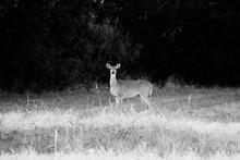 Wildlife In Nature Shows Deer ...
