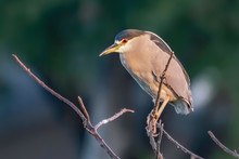 Black Crowned Night Heron Perc...