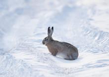 Gray Wild Rabbit (hare) In His...