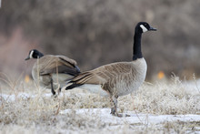 Two Canada Geese On A Cold Win...
