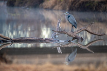 Great Blue Heron On Log With R...