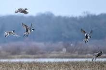 Northern Pintail Ducks Taking ...