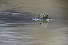 Red-eared Slider Turtle Swimming