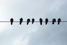 Pigeons On Electrical Wires. F...