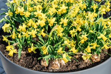 Many Yellow Daffodils Sprout From Flower Bulbs Planted In A Flower Pot. Close-up Mini Narcissus Blooming In Containers In The Spring Garden, Selective Focus.