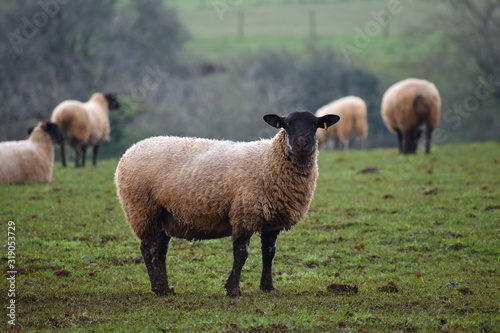 Elegant domesticated Masham ewe encounter in Cotswolds farm field Sheep have bla Wallpaper Mural