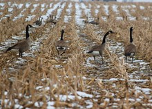 Canadian Geese Walking In A Wi...