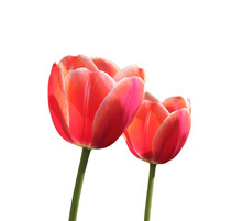 Close Up Of Red Two Tulip Flowers Isolated Without Background
