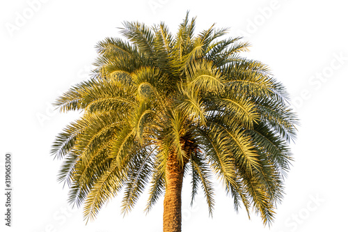 Phoenix sylvestris or Silver date palm isolate on white background Canvas Print