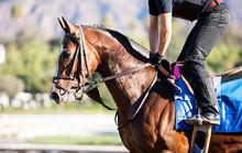 Bay Racehorse Headshot