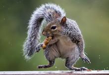 Close-Up Of Squirrel Eating Peanut