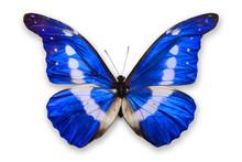 Beautiful Blue Morpho Helena B...