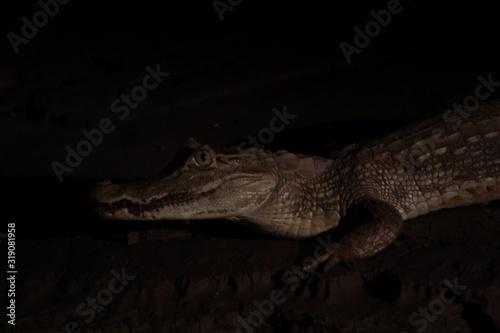 Leinwand Poster Close-Up Of Crocodile At Night