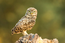 Close-Up Portrait Of Owl Perching On Wood