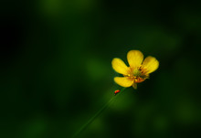 Close-Up Of Ladybug On Yellow Flower